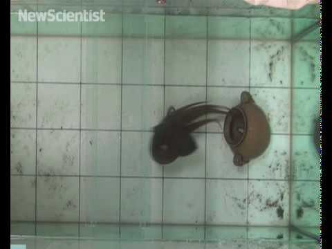 Tricked octopus