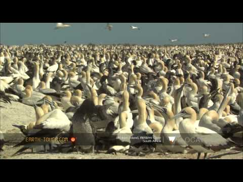 Strange visitor at earth's largest Cape gannet colony
