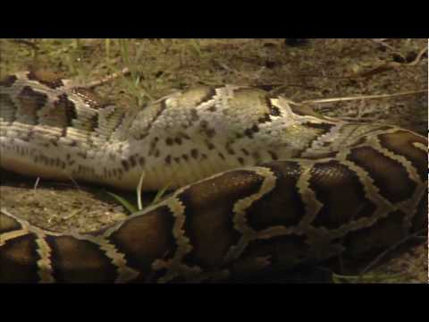NATURE | Invasion of the Giant Pythons | Gator vs Python | PBS