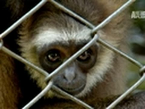 Wild Kingdom- A Home for Gibbons