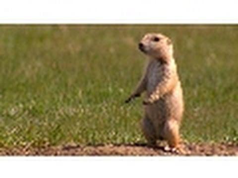 Prairie Dog Snake Alarm