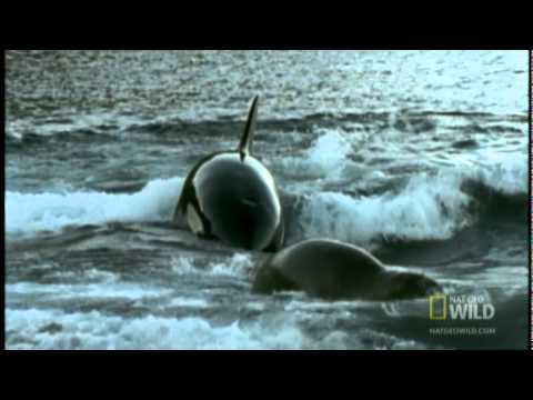 Seal Pup vs. Killer Whale