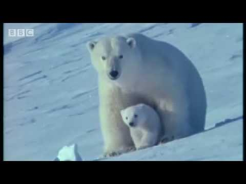 Watch the birth of a polar bear - BBC wildlife