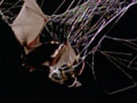 Spider Kills Bat