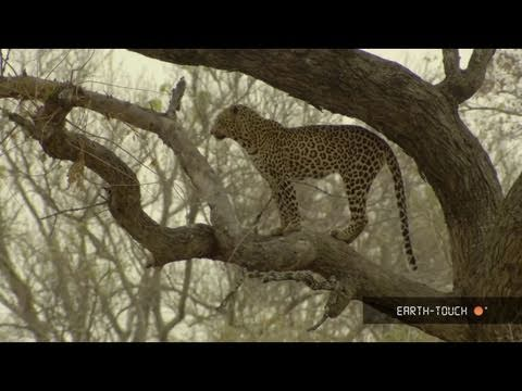 Strange snack for a leopard & animals on the hunt