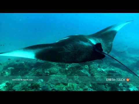 Swimming with a graceful manta ray