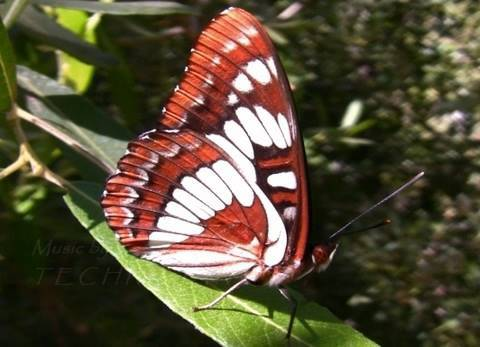 The Friendly Butterfly: Lorquin's Admiral, Bouquet Canyon, Casio EX-F1 Slow Motion + HD 720p