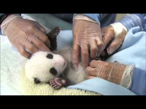 Panda Cub 3rd Exam - It's a Boy!