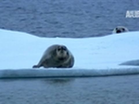 Polar Bear: Spy on the Ice- Polar Bear Hunts a Seal