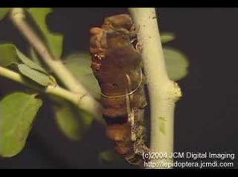Pale Swallowtail pupates (time lapse) 2/2