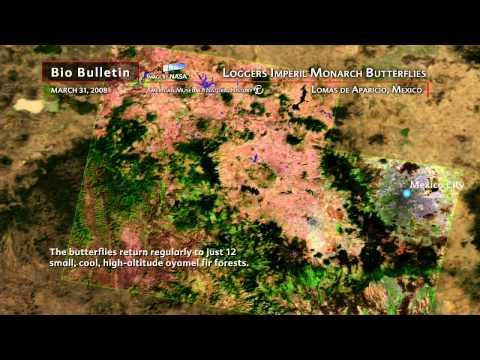 Science Bulletins: Logger Imperil Monarch Butterflies