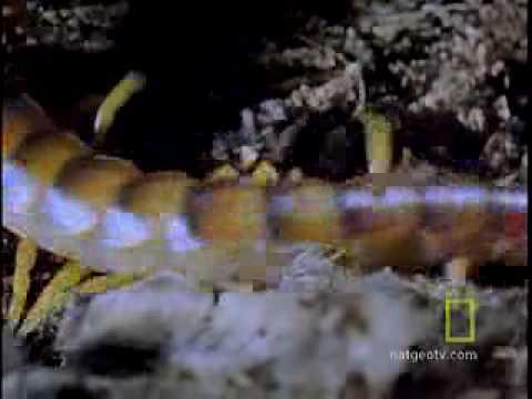 South American Centipede