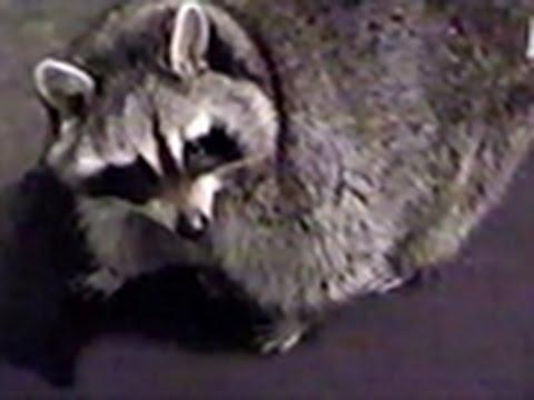 Weird, True & Freaky- Fattest Raccoon Ever