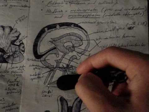 Neuroanatomy Tutorial 19 (Cerebellum and Ventricles)