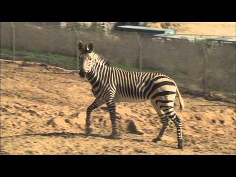 Safari Park Zebras