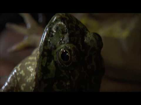 NATURE | Frogs: The Thin Green Line | Chemical Runoff | P...