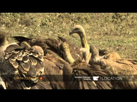 Nature's clean-up crew: Vultures clash over a carcass