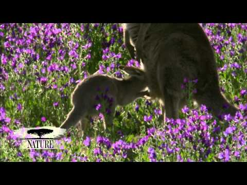 NATURE | Kangaroo Mob | A New Vitality | PBS