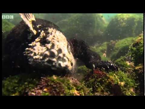 Sneezing free diving Iguanas - Dive Galapagos - BBC