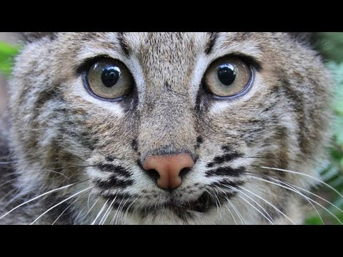 Remembering Rufus the Bobcat...