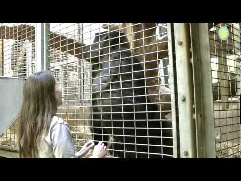 National Zoo Gorillas are the First to Participate in Heart Disease Study