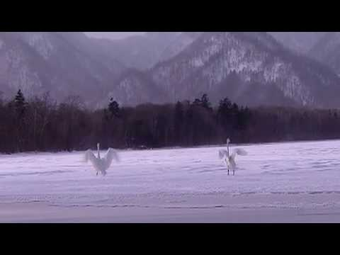 The Coolest Stuff on the Planet- The Whooper Swans of Hokkaido