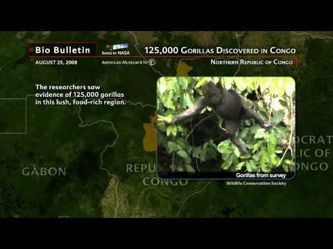 Science Bulletins: 125,000 Gorillas Discovered in Congo