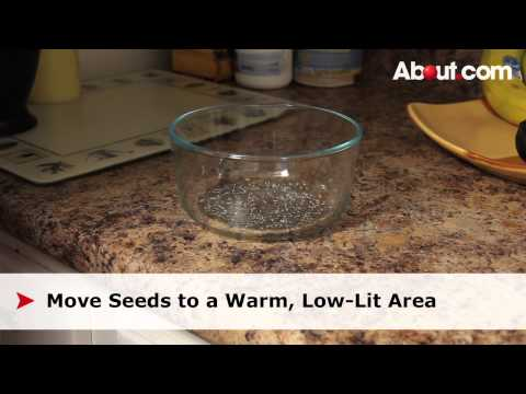 Quick Tip: How to Sprout Chia Seeds
