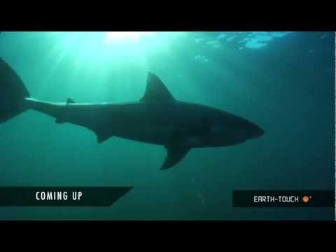 Sharks galore! Freediving with great whites