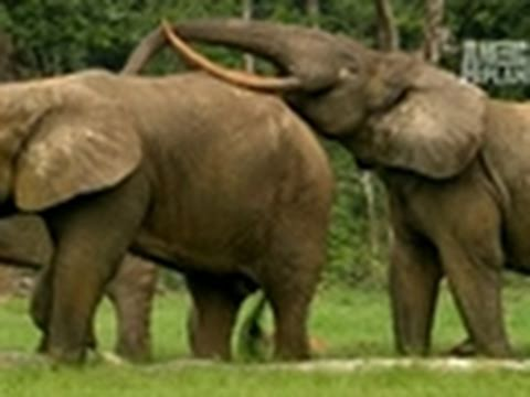 Wild Kingdom- Forest Elephant Copycats