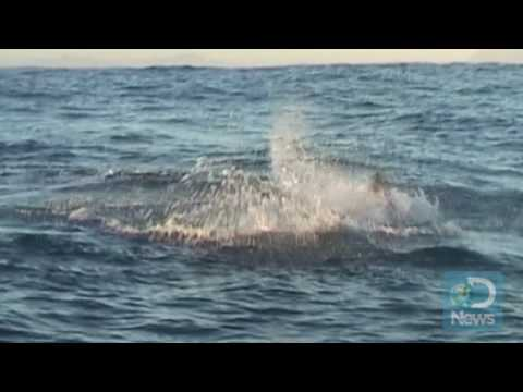Sharks Hunt Like Serial Killers
