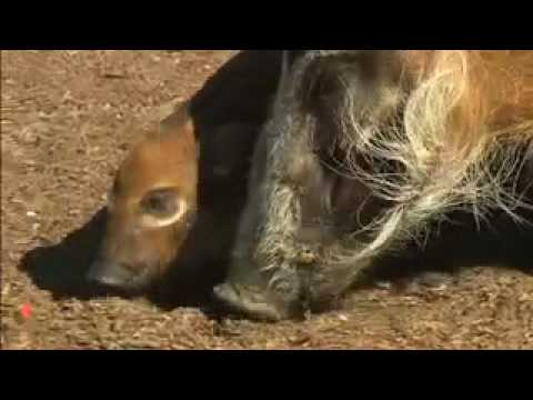 San Diego Zoo goes wild for Red River Hogs piglets