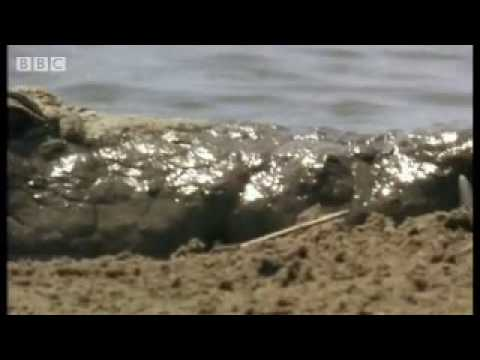The amazing power of crocodile teeth - BBC wildlife