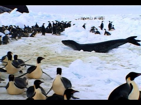 Penguins vs. Leopard Seal