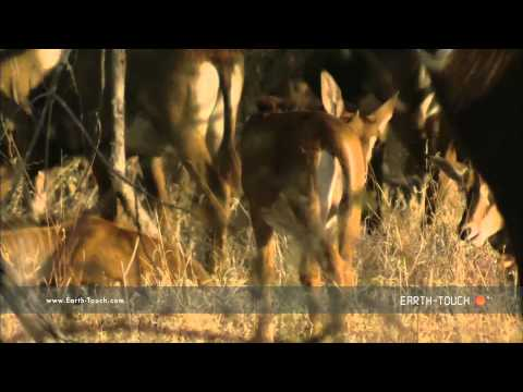 Sable antelope show off formidable horns