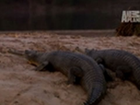Wild Kingdom- Gharials vs. Mugger Crocodile