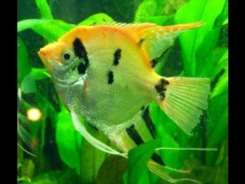 Rescued Giant Monster Angelfish + Plus Angel Fish Spawning