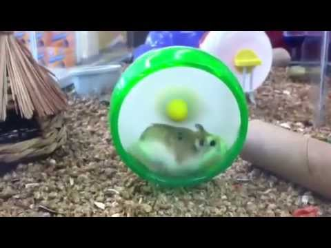 Robo Hamsters play all day! DidiPop Nature Video