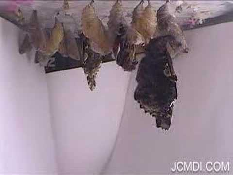 Red Admiral butterflies emerge in time lapse