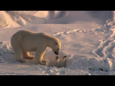 Playful Polar Bear Ruins Hunt | Frozen Planet