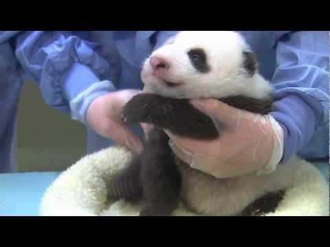San Diego Zoo Panda Cub - Chin Scritches & Baby Yawns