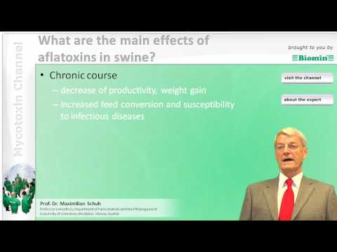 What are the main effects of aflatoxins in swine?