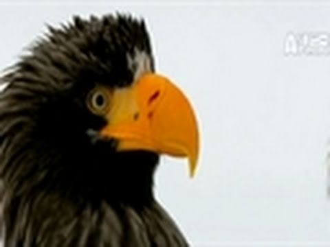 Wild Russia- Eagles Battle Over Food