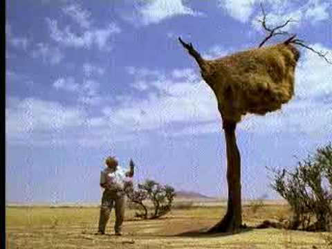 Social weaver birds nest in a tree in Africa - David Attenborough  - BBC wildlife