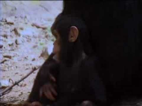 Wild alpha male ape meets his baby twin chimpanzees in the African jungle - BBC wildlife