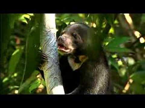 Rare Sun Bear Cub