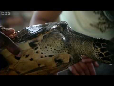Turtle fishing net wounds - Saving Planet Earth - BBC