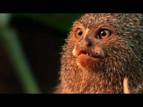World's Weirdest - Smallest Monkey Turf War