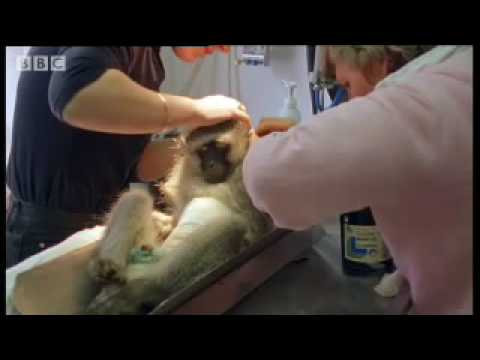 Wounded monkey and baby orphans - Cheeky Monkey - BBC wildlife