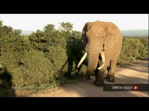 Zebras fight & a baby elephant slips and slides in the mud